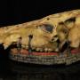 Boar Animal Skull