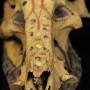Unique Rare Wild Boar Cermony Skull
